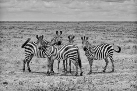 zebra-stripes-01-600x399