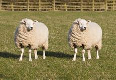 sheep-cloning-18841288