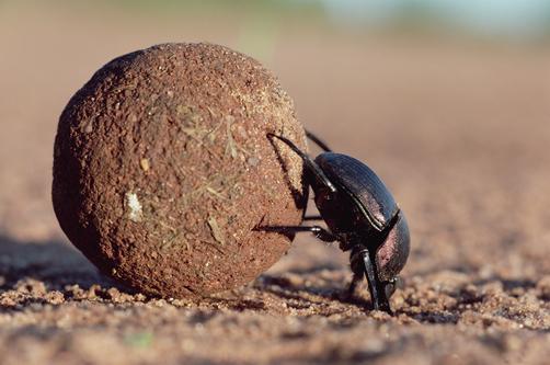 dung beetle or scarab beetle scarabaeidae rolling dung ball kenya