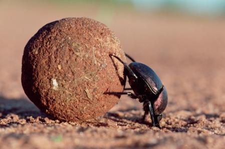 Dung Beetle or Scarab Beetle (Scarabaeidae) rolling dung ball, Kenya, Africa